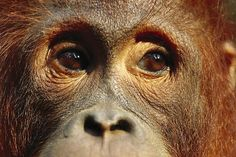 orangutan-eyes-borneo-cyril-ruoso.jpg (900×599)
