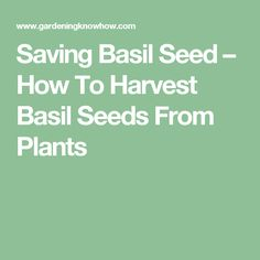 Saving Basil Seed – How To Harvest Basil Seeds From Plants