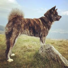 Viva Italia  #trip #summer #holidays #hiking #dogsthathike #puppy #naokoakitainu #dog #paws #chien #pawsfriend #akitainu #akita #akitainudogs #akitainudog #akitainucute #japaneseakitainu #akitadogs #akitasofinstagram #akitapuppy #akitaworld #akitalovers #akitalife #akitapics  #akita_inu #animal #animals #dogs #cute #doglover #akitacutepuppy #dog_features Akita Puppies, Cute Puppies, Japanese Akita, Naoko, Dog Paws, Inu, Dog Lovers, Hiking, Holidays