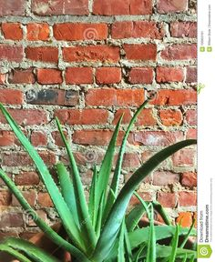 Photo about A classic hippy type image of rustic old red brick wall and a lush large green aloe vera plant. Image of classic, cafe, vera - 100853181