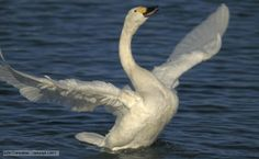 BBC Nature - Bewick's swan videos, news and facts