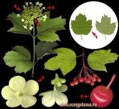 Viburnum Opulus Roseum, Plants, Plant, Planets
