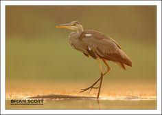 Sunrise Heron by Brian Scott on 500px