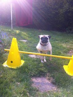 My pug! Teaching her dog agility