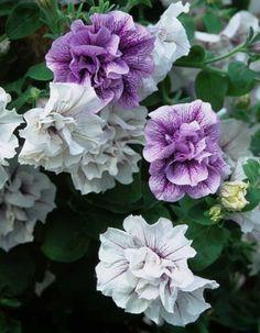 TUMBELINA Margarita - David & Priscilla Kerley, Breeders of Novel Patio Plants