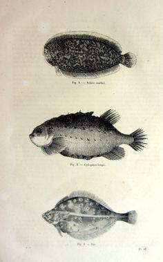 1860 Amazing antique flatfish print strange by LyraNebulaPrints, $24.95