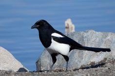 Skjære / European Magpie