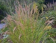 When To Plant Ornamental Grass Pase seeds ornamental grass seed avena sterilis seeds 329 ornamental grass seed achnatherum calamagrostis seeds workwithnaturefo