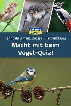Kennt ihr Amsel, Drossel, Fink und Co.? Macht mit beim Vogel-Quiz! In Deutschland sind viele verschiedene Vogelarten heimisch. Singvögel wecken uns am Morgen mit ihrem Gesang und im Winter lassen sie sich toll im Vogelhäuschen beobachten. Aber welcher gefiederte Freund hüpft da eigentlich gerade durch unseren Garten? Macht den Test und quizzt mit! Animals, Scientia Potentia Est, Singing, Boyfriend, Animales, Animaux, Animal, Animais