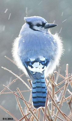 Bluejay fluffs its feathers during cold weather.