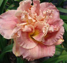 Double Daylily, Hemerocallis 'Twice Kissed' (Stamile, 2009)
