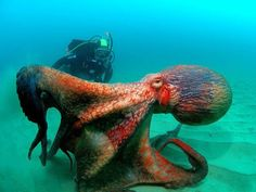 large_octopus_ Photographed by Andrei Shpatak.encounter.jpg (800×600)
