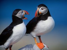 PUFFINS!  I fell in love with them when a read 'Lucky Mrs. TIcklefeather' as a child!