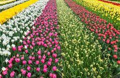 Les champs de tulipes.. #tulips#tulipes#Holland#PaysBas
