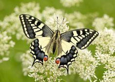 Swallowtail Papilio machaon | Flickr - Photo Sharing!