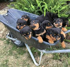 Need this in my life! Rottie's are the best dogs