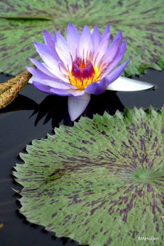 ✯ Blue Water Lily