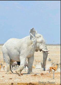 Elefant albinos
