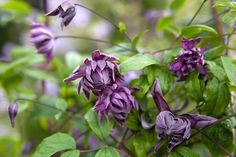 Clematis viticella 'Mary Rose'