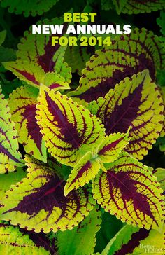 The Best New Annuals for 2014 - some sun and some shade, but they make a great pop of color!