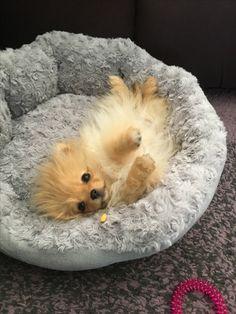 Pomeranians Dogs Pomeranian dog sleeping like a boss Cute Puppies, Cute Dogs, Dogs And Puppies, Doggies, Animals And Pets, Baby Animals, Cute Animals, Cute Pomeranian, Lap Dogs