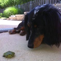 Dachshund vs. Turtle. The standoff!