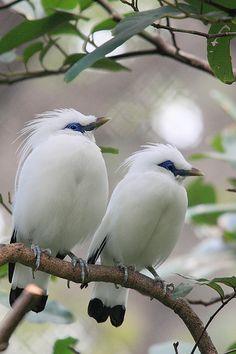 'What a Pair' - Bali Mynah birds