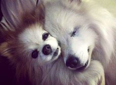 perro ciego hoshi y pomerania