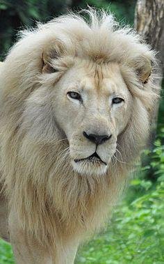 El león (Panthera leo) Los leones blancos no son afectados de albinismo sino de leucismo. Los pigmentos son visibles en sus ojos (que pueden ser dorados/avellana como los de los leones normales, pero también azul-gris o verdes – es posible criar selectivamente con ojos azules), sobre sus almohadillas y sus labios. Su leucismo es debido al gen mutante chinchilla, que inhibe el depósito de pigmentos salvo sobre los extremos del pelo.