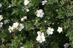 """Potentilla, Happy Face White (Potentilla fruticosa 'White Lady') Extra large, pure white flowers adorn this plant from spring to late summer.  It has a dense habit with dark green foliage.  Excellent for mass plantings. Available Spring 2013. 24-36"""" x 24-36"""""""