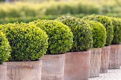boxwoods in terra cotta. poisonious to the horses would have to be in pot so I could move them. Boxwood Garden, Boxwood Topiary, Garden Pots, Boxwood Plant, Potted Plants, Container Plants, Container Gardening, Fresco, Large Terracotta Pots