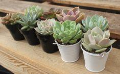 Foto: thesucculentsource.com
