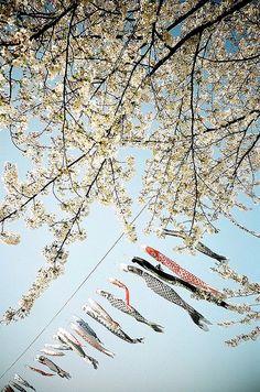 Koinobori 鯉のぼり ~ Japanese Carp Streamers flown on Boys Day, seen here at Kitakami ~ Iwate, North East Japan