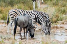 Eine Campingsafari durch den Etosha National Park in Namibia ist eine großartige Möglichkeit, wilde Tiere in freier Wildbahn zu sehen.