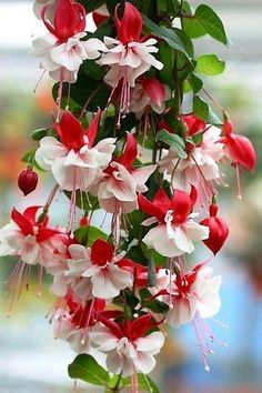 Fuchsia Plant Facts from Seed to Flowering - Daylilies in Australia Exotic Flowers, Amazing Flowers, My Flower, Flower Power, Beautiful Flowers, Beautiful Gorgeous, Beautiful Gifts, White Flowers, Fuchsia Plant