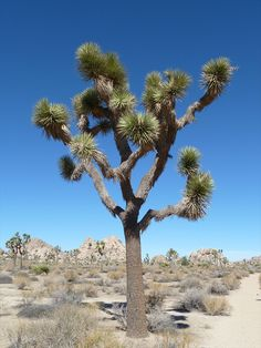 southwest cactus plants | Tree, California Desert, Desert flora, desert cactus, desert plants ...