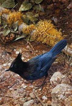 Carl Brenders - Stellar's Jay (Imperfect) - This is one of more than works of art offered by ArtUSA, The World's Source for Collectible Art. Toll-free or Wildlife Paintings, Wildlife Art, Oil Paintings, Nature Artists, Pretty Birds, Illustrations, My Animal, Bird Art, Photo Art