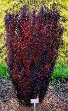 Kigi Nursery - Berberis thunbergii ' Helmond Pillar ' Upright Red Japanese…