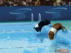 Looks like Percy still swam as a guinea pig