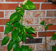 PlantFiles Pictures: Epipremnum Species, Centipede Tonga Vine, Devil's Ivy, Dragon-Tail Plant (Epipremnum aureum) by pirl Epipremnum Pinnatum, Dragon Tail, Famous Daves, Tonga, Health Remedies, Ivy, Vines, House Plans, Plant Leaves