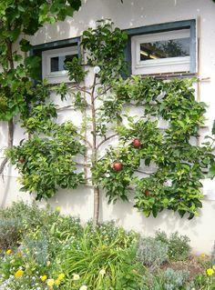 Hausfassade Spalier Apfelbaum herrlicher Look