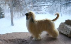 Beautiful Afghan Hound In Winter HD Wallpapers. For more cool wallpapers, visit: www.Hdwallpapersb... You can download your favorite HD wallpapers here .. It's free