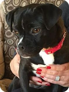 Staten Island, NY - Pug/Chihuahua Mix. Meet Ally, a dog for adoption. http://www.adoptapet.com/pet/12779144-staten-island-new-york-pug-mix