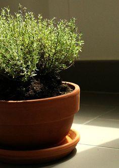 Tomilho (Thymus espécies)