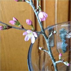 啓翁桜けいおうざくらです  この前たなばたけで桜を買ってきました玄関先にいけておいておいたら温かいので咲き始めました  桜はあっという間に咲いてあっという間に散るんですよね  それを残念という人もいれば潔い(いさぎよい)という人もいれば #花 #桜 #flower #Cherry #Blossoms #꽃 #벚꽃 #花 #櫻花