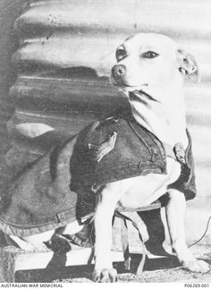 Imshi, mascot of 2/1 Anti Tank Regiment, sits beside a corrugated iron tank. She is wearing a jacket with corporal stripes. Her name was derived from an arabic word meaning 'go away'. Imshi travelled with the regiment through Egypt, Greece and Syria. Whilst in a camp in Syria she met with another famous mascot, Horrie the Wog Dog, 2/1 Machine Gun Battalion, lifting his spirits after he had been ill and recovering from a wound received in Egypt.