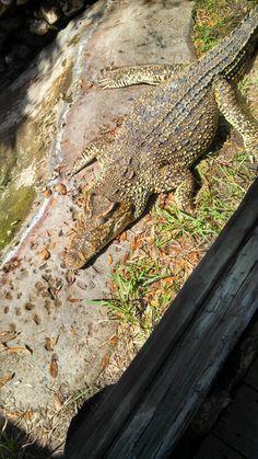 Cuban crocodile, St. Augustine alligator farm