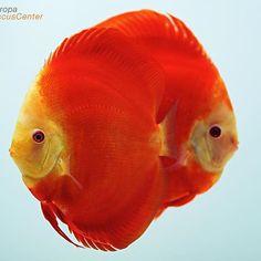 【europadiscuscenter】さんのInstagramをピンしています。 《Red Melon Discus breeding pair ❤❤ #discus #diskus #diskusfische #aquarium #symphysodon #tropicalfish #discusfarm #discusfish #fish #discusbreeding  #fishfarm #fishtank #fishkeeper #freshwater #discushatchery #freshwaterfish #ディスカス #アクアリウム #魚 #水槽 #熱帯魚 #tropical #breeding #breedingfarm #cichlids #cichliden #cichlid #七彩神仙 #diskusfisch》