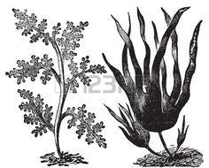 Pepper dulse, algue rouge Laurencia pinnatifida ou (à gauche). Laminaire ou Laminaria digitata (à droite). Gravure Vintage. Illustration de ...