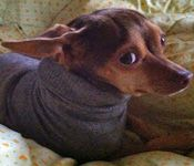 How to Make an Instant Dog Sweater